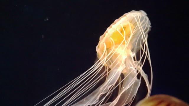 beautiful poison jellyfish swims through the deep blue sea video