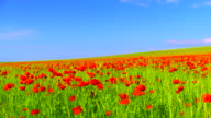 Beautiful Poppy Field video