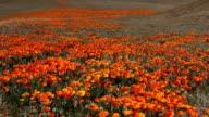 Beautiful Poppy Field video