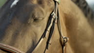 CLOSE UP: Beautiful powerful horse looking into camera and blinking with eyes video