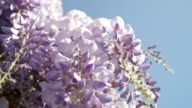 SLOW MOTION CLOSEUP DOF: Beautiful purple wisteria flowers blooming on sunny day video