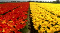 CLOSE UP: Beautiful red and yellow colorful tulips separated by small walkway video