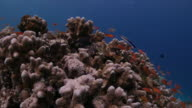 Beautiful red Anthias fish undersea (4K->FHD) video