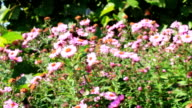 beautiful red asters video