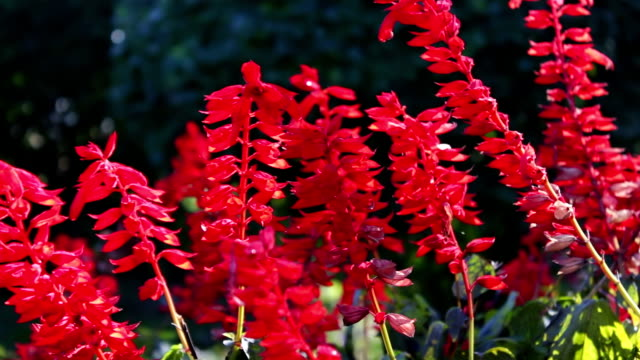 beautiful red autumn flowers video