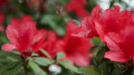 Beautiful Red Azaleas video