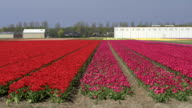 AERIAL: Beautiful red blossoming tulips near agricultural farm business premises video