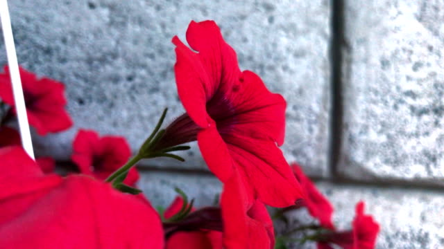 beautiful red flowers in a pot video