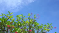 Beautiful Red Frangipani tree with blue sky video