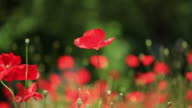 HD: Beautiful Red Poppies video