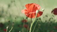 4K: Beautiful Red Poppies video