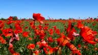 Beautiful red poppy flowers video