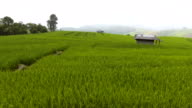 Beautiful Rice Field with Mist and Mountain in Morning video