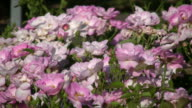 Beautiful Rosa Escapade roses gently sway in wind (High Definition) video