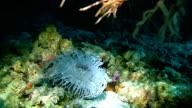 CU Beautiful Sea Anemone video