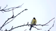 beautiful small bird great tit in winter video