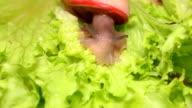 Beautiful snails eating a lettuce leaf. video