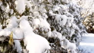 beautiful snow-covered fir in the park in winter video