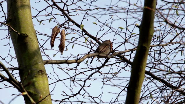 Beautiful Sound Red Robin Song Bird Singing Close Up Through Branches & Leaves video