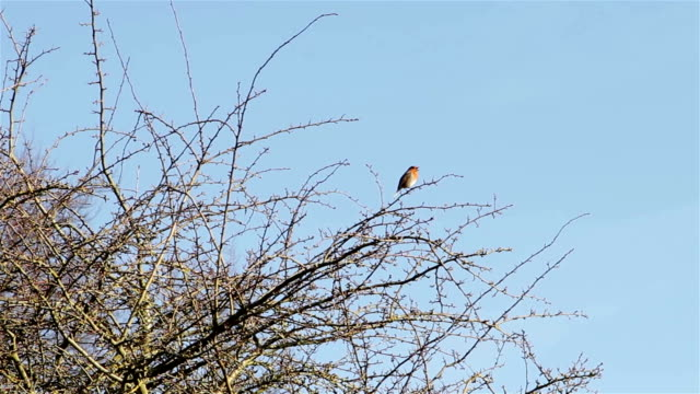 Beautiful Sound Red Robin Song Bird Singing Wide Shot On Branches of Tree video
