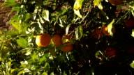 Beautiful Spanish orange trees video