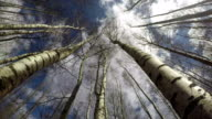 Beautiful spring birch forest in wind from beneath and clouds motion, time lapse 4K video