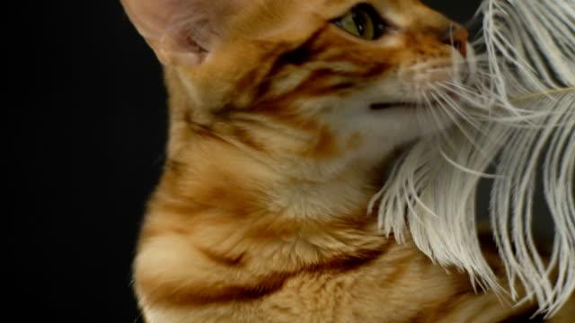 Beautiful Stylish Bengal Cat video