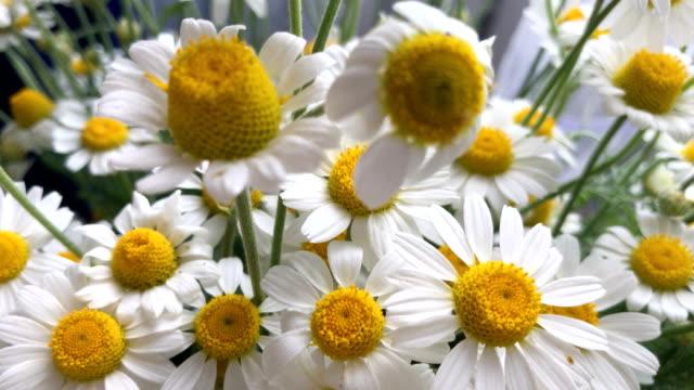 beautiful summer flowers Chamomile video