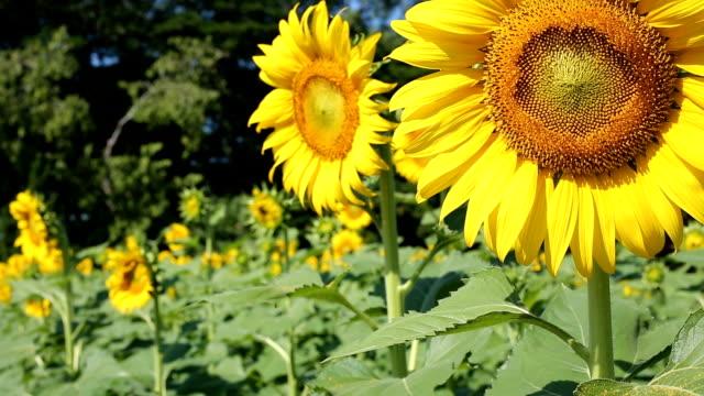 beautiful sunflower blooming in garden video
