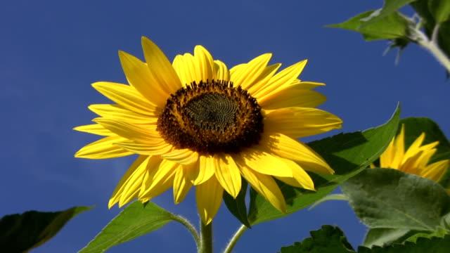 Beautiful Sunflower. video