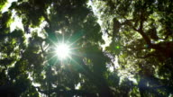 Beautiful Sunlight Flares in Tropical Rain Forest Jungle Canopy. Sunlight Filters Through Trees in Slow Motion. video