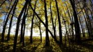 Beautiful sunlit day in golden autumn aspen forest. Timelapse video