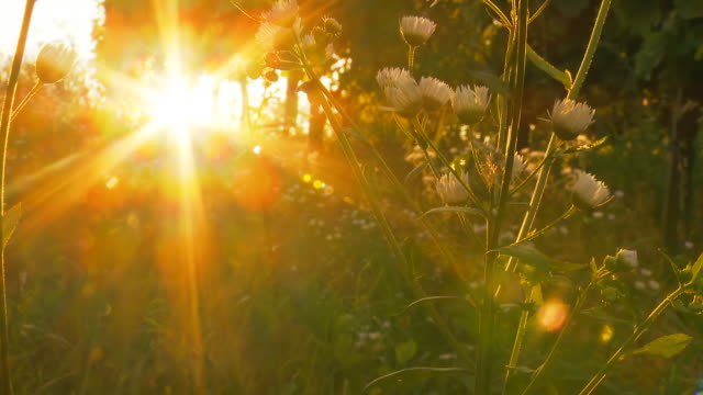 HD DOLLY: Beautiful Sunset Against Meadow Flowers video