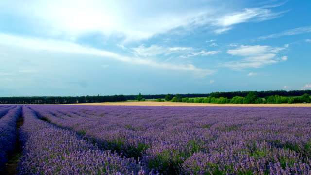 Beautiful sunset HDR time lapse over a lavender field. Blue sky and moving clouds. video