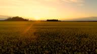 HD HELI: Beautiful Sunset Over The Canola Field video