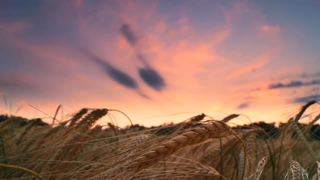 HD TIME LAPSE: Beautiful Sunset Scene Over Wheat Field video
