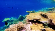 Beautiful table corals on Maldives - South Ari Atoll video