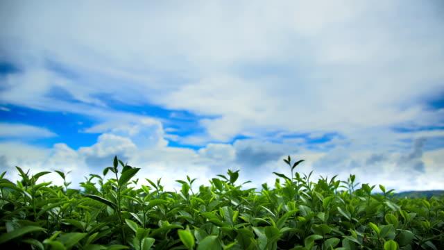 Beautiful tea plantation. video