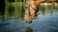 CLOSE UP: Beautiful thirsty brown horse drinking water from crystal clear river video