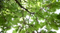 HD CRANE: Beautiful tree top branches, spring foliage background video