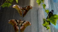 Beautiful tropical butterfly, Atlas, one of the largest, sit on the wall, Morpho, sit on the mesh fabric near window, Mormon, sitting on a wall box for butterflies newborn video