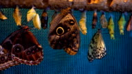Beautiful tropical butterfly, Morpho, just hatched from pupae video