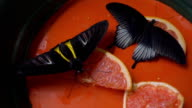 Beautiful tropical butterfly sitting on oranges and suck the sweet juice video