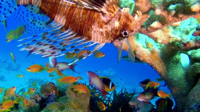 Beautiful Tropical Lion-Fish video