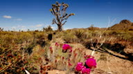 Beautiful vegetation in Arizona desert video