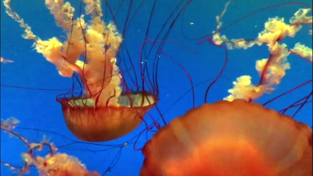 Beautiful vibrant colored jellyfish floating in water video