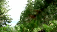 beautiful view of pine tree forest with green branches needles closeup evergreen video