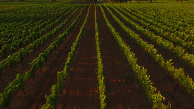Beautiful Vineyard at Sunset video
