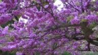 Beautiful violet tree in bloom.  Granada, Spain video