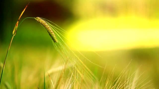 Beautiful wheat ear of grain video